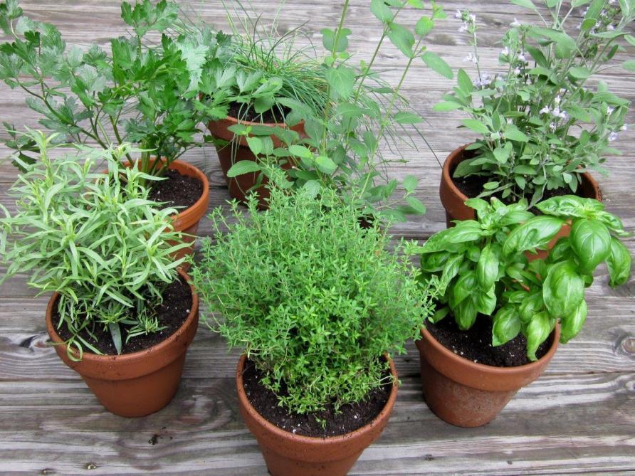 Kruiden In Pot.Kruiden Zaaien In Potten Landbouwleven