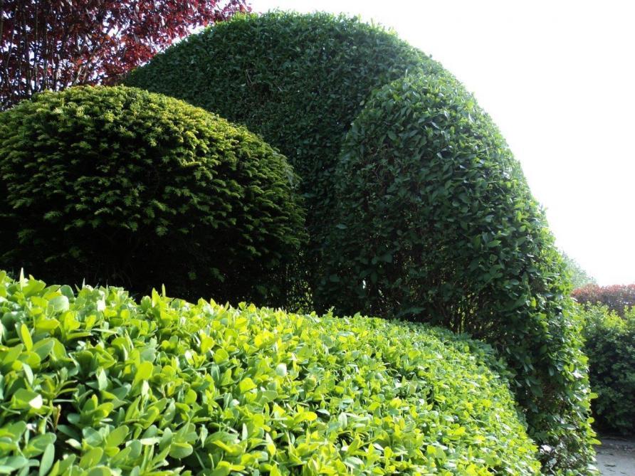 f39ab3eae14 Buxus, Taxus en Ligustrum zijn goede haagplanten en kunnen in elke denkbare  vorm worden geschoren