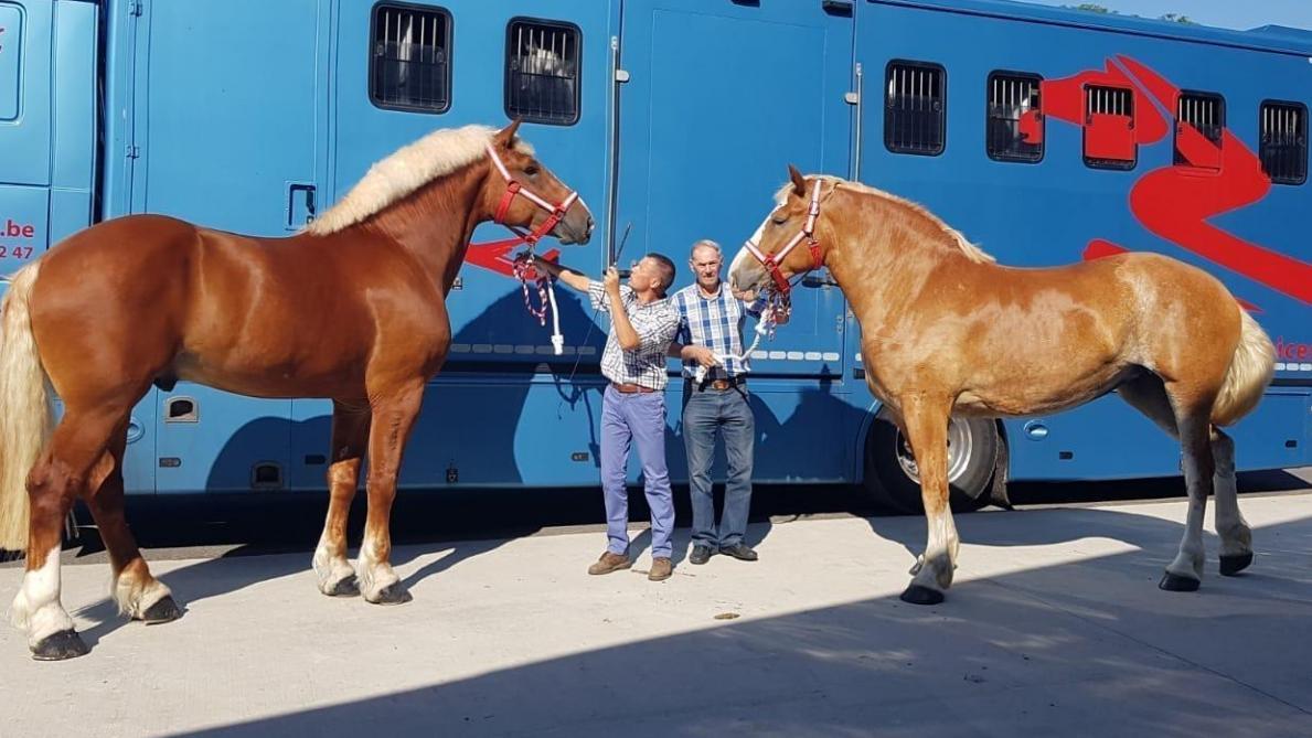 a8400f569d8 Twee Vlaamse Paarden vóór hun vertrek naar China.