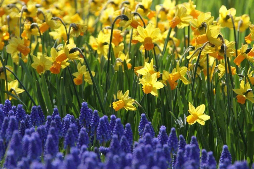 Bollen Bloeiend Voorjaar : Voorjaarsbloembollen nu planten straks genieten landbouwleven
